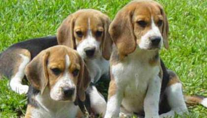 Home Grown Pocket Beagles - Dog and Puppy Pictures
