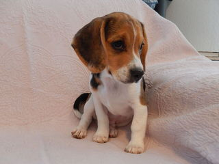 whitby winds pocket beagles - Dog Breeders