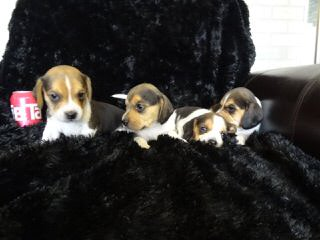 Whitby Winds Pocketbeagles Illinois - Dog and Puppy Pictures