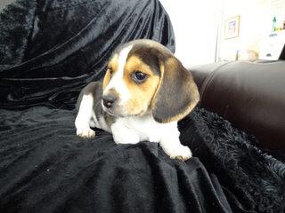 Country Side Pocket Beagles - Dog Breeders