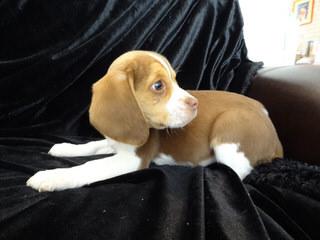 Pocket Beagles Usa! - Dog Breeders