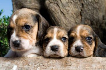 Rocky Mountain Pocket Beagles - Dog Breeders
