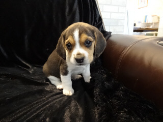 Rocky Mountain Pocket Beagles - Dog and Puppy Pictures
