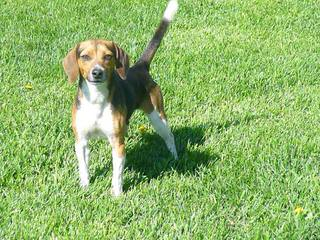 Home Grown Pocket Beagles - Dog Breeders