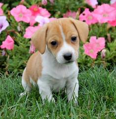 Country Side Pocket Beagles - Dog Breeders