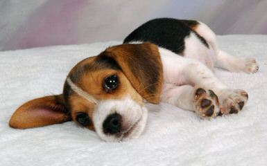 Country Side Pocket Beagles - Dog and Puppy Pictures