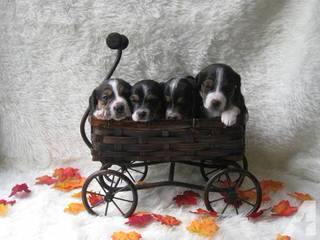 Catch A Dream Kennel - Dog and Puppy Pictures