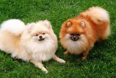 Pomeranian Dogs and Puppies