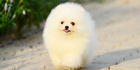 Campbell's Pomeranians - Dog Breeders