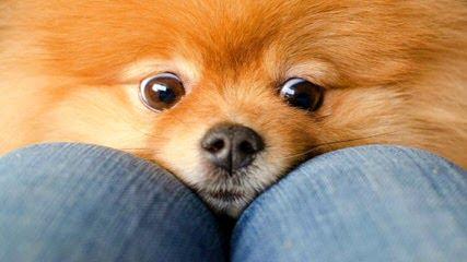 Poofypoochies Pomeranians - Dog Breeders