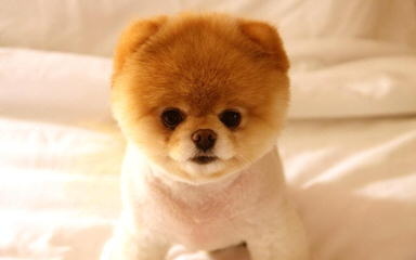 Pomeranian Puppies - Dog and Puppy Pictures