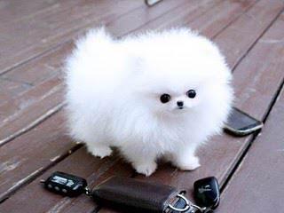 Pomeranians - Dog Breeders