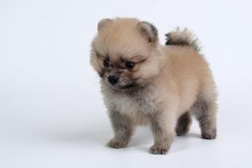 Baby Bear Pomeranian's & Pekingese - Dog Breeders