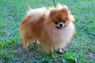 Cindy's Pomeranians - Dog Breeders