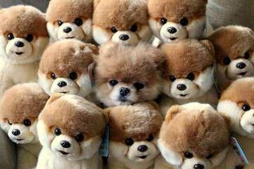 Stunning Pomeranians - Dog Breeders
