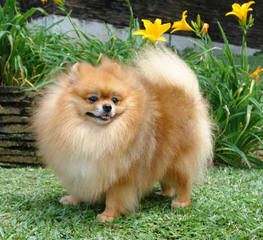 Sirius Red's Pomeranians - Dog Breeders