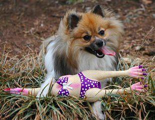 Hamaara Pomeranians - Dog Breeders