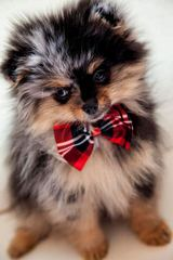 Trilve Haynes - Dog Breeders