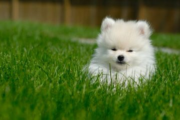Krissy Pom - Dog and Puppy Pictures