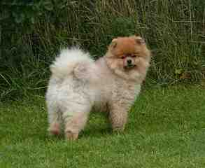 Sirius Red's Pomeranians - Dog Breeders