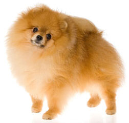Poofypoochies Pomeranians - Dog and Puppy Pictures
