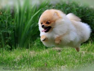 Delpom's Pomeranians - Dog Breeders