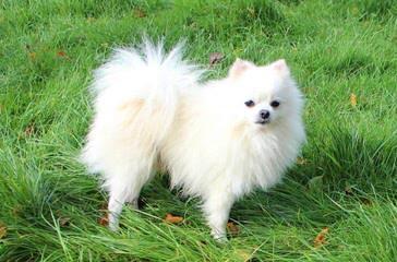 Cr Pomeranians - Dog Breeders