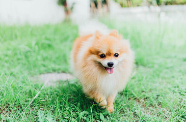 Poofypoochies Pomeranians - Dog Breeders