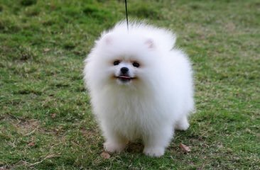 mimi fluffy poms - Dog Breeders