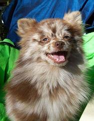 Cindy's Pomeranians - Dog Breeders