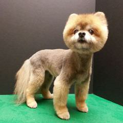Alaska Pomeranians - Dog Breeders