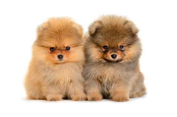 pomparadise - Dog Breeders