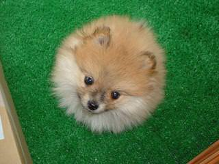 Murrietta Exotic Poms - Dog Breeders
