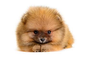 Pomeranian & American Eskimo Dogs - Dog Breeders