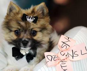 Golden Pomeranian Puppies - Dog and Puppy Pictures