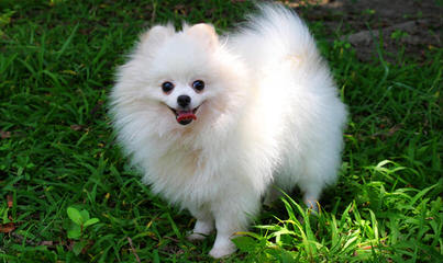 Pomeranian Puppies – We Ship – Akc/Ckc/Api - Dog and Puppy Pictures