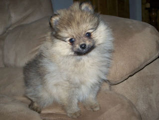 6 Mth Old Pomeranian For Sale - Dog Breeders