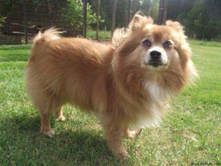 PeeWee's Pups Pomeranian - Dog Breeders