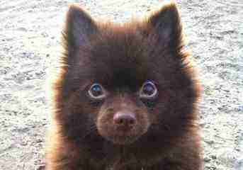 Pomeranian Puppies - Dog Breeders