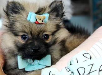 Tiny Toy Pomeranian Pups - Dog Breeders