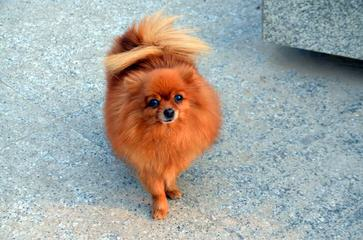 Foxfire Precious Pomeranians - Dog Breeders