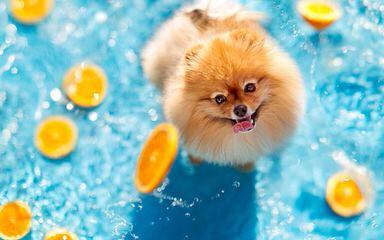 Murrietta Exotic Poms - Dog Breeders