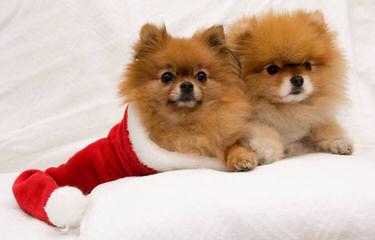 mimi fluffy poms - Dog Breeders