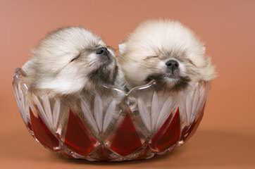 Rose Dollhouse Poms - Dog and Puppy Pictures