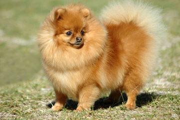 Rose Dollhouse Poms - Dog Breeders