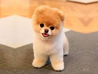 Minx toy dogs - Dog Breeders