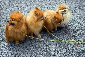 Lili's Exotic Poms N Yorkies 4U - Dog Breeders