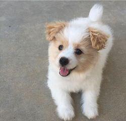 Pomapoo - Dog Breeders