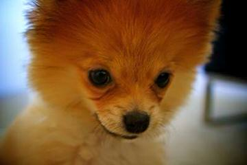 Fancy White Tea-Cup Pomeranian Babies Available Now - Dog Breeders