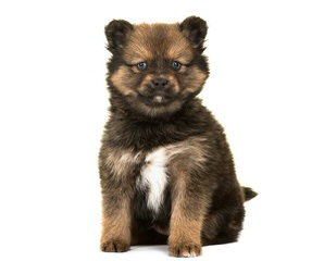 Gorgeous Pomeranian Puppies! - Dog Breeders